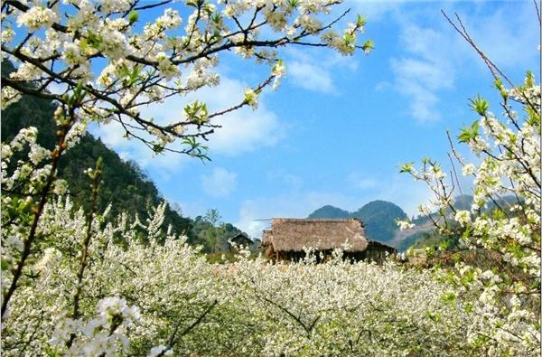 Hoa mận Mộc Châu