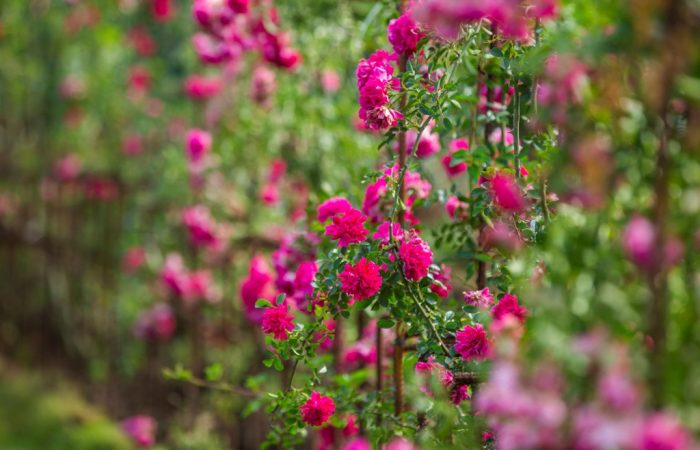 Thung lũng hoa hồng Sa Pa